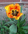 A tulipa 010 rot gelb be.jpg