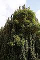 Abbess Roding - St Edmund's Church - Essex England - churchyard ivy growing through yew.jpg