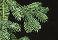 Abies balsamea branch.jpg