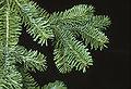 Abies balsamea branch.jpg