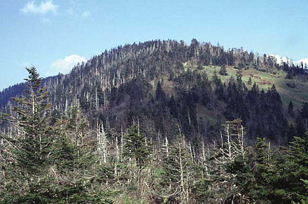 Clingmans Dome Abies fraseri0.jpg