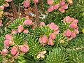 Abies koreana flowers2.jpg