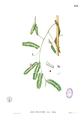 Abrus precatorius Blanco1.156.png