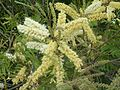Acacia caffra, bloeiwyses, Pretoria, b.jpg
