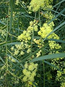 Acacia Iteaphylla Wikipedia