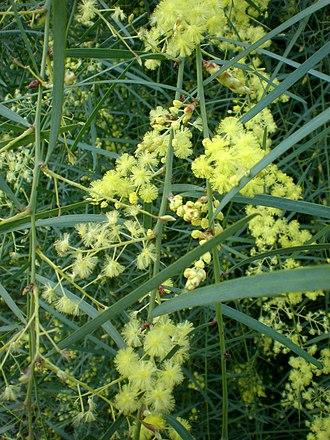 Acacia iteaphylla - Acacia iteaphylla flowers and foliage