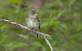 Acadian Flycatcher 2.jpg
