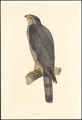 Accipiter nisus - 1854-1858 - Print - Iconographia Zoologica - Special Collections University of Amsterdam - UBA01 IZA1000742.tif