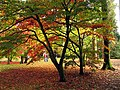 Acer Glade at Westonbirt Arboretum - geograph.org.uk - 69628.jpg