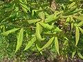 Acer triflorum, Arnold Arboretum - IMG 5931.JPG