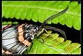 Achelura sanguifasciata (5126304764).jpg