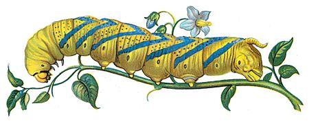 Acherontia atropos chenille Nemos.jpg