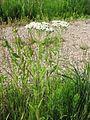 Achillea millefolium 3-eheep (5097839836).jpg
