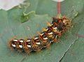 Acronicta rumicis - caterpillar (2006-09-20).jpg