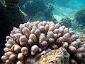 Acropora retusa Maldives.JPG