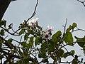 Adamboe (in Malayalam) (2242170370).jpg
