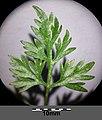 Aethusa cynapium subsp. cynapium s. lat. sl13.jpg