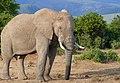 African Elephant (Loxodonta africana) bull ... (40270547823).jpg