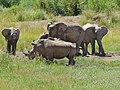 African Elephants (Loxodonta africana) and White Rhinos (Ceratotherium simum) (7035695177).jpg