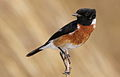 African Stonechat, Saxicola torquatus at Rietvlei Nature Reserve, South Africa (10055073394).jpg