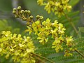African Wattle (Peltophorum africanum) (11515601313).jpg