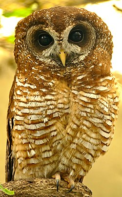 African Wood Owl (Strix woodfordii) captive ... (32170976033).jpg