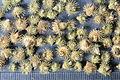Agrimonia odorata MILL. syn. A. procera WALLR.; seeds.JPG