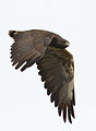 Aguila de cola blanca.jpg