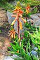 Agulhas Aloe - A juddii - Cape 6.jpg