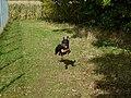Airborne Super-Dog On Mission - panoramio.jpg