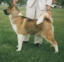 Akitas are very good dogs