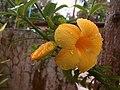 Allamanda Flower1495450439595.jpg
