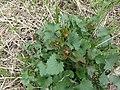 Alliaria petiolata SCA-110426-01.jpg