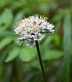 Allium roseum 1330.jpg