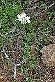 Allium roseum kz02 Morocco.jpg