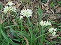 Allium subvillosum.JPG