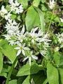 Allium ursinum. Ayu d'osu.jpg