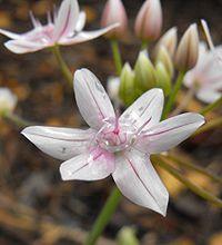 Alliumhyalinum1