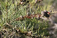Allocasuarina humilis Female