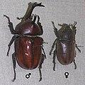 Allomyrina dichotoma.jpg