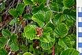 Alnus alnobetula suaveolens, endemic alder subspecies in Corsica.jpg