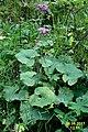 Alpine flora (Mit) (37865936082).jpg