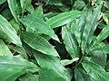 Alpinia zerumbet 01.jpg