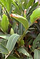 Alpinia zerumbet 7zz.jpg
