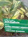 Alpinia zurumbet variegata.jpg