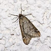 Alsophila.aescularia.7551.jpg