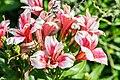 Alstroemeria Maya in Botanischer Garten Muenster.jpg