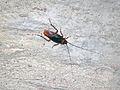 Altar Cave - American cockroach on wall (San Salvador Island, Bahamas) 4 (16390320591).jpg