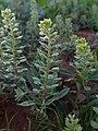Alyssum simplex kz05.jpg