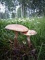 Amanita rubescens gljiva 1 (5).jpg